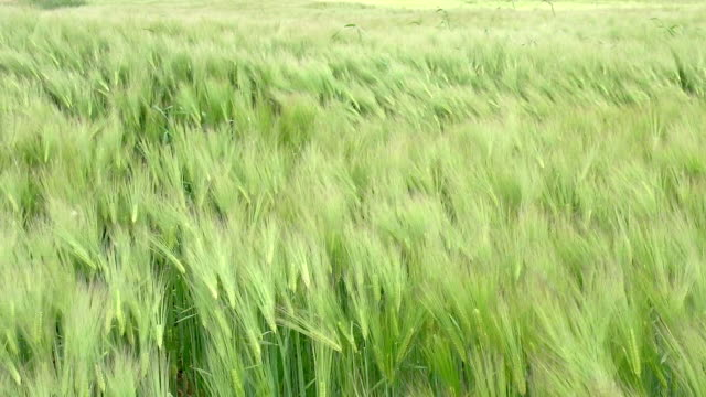"""""""barley field in normandy, real time"""" - normandy stock videos and b-roll footage"""