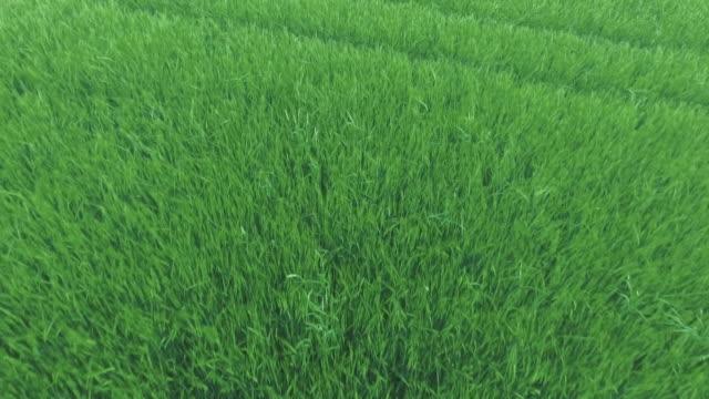 aerial barley field in spring flyover (4k/uhd) - barley stock videos and b-roll footage