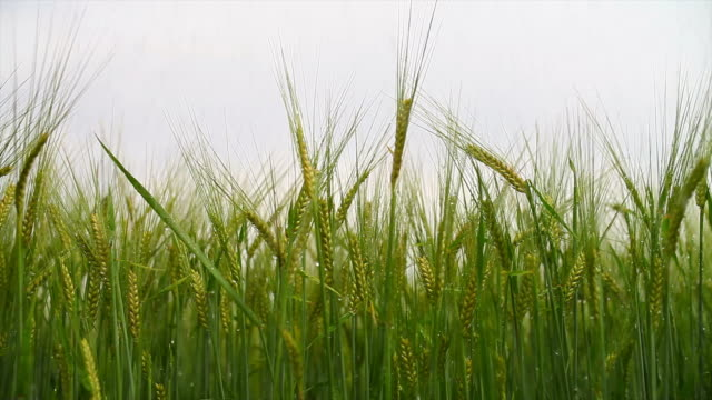 barley field in the summer rain tracking shot - agrarland stock videos and b-roll footage