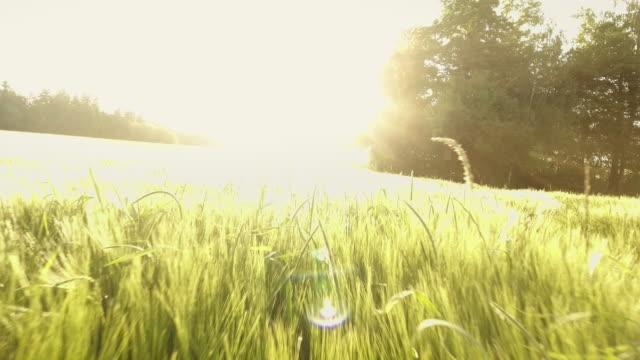 AERIAL Barley Field In The Sun Flyover (4K/UHD)