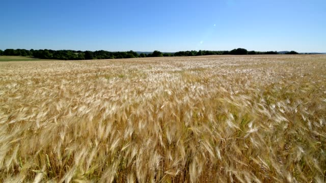 barley field in the wind, grandenborn, ringgau, werra-meissner district, hesse, germany - orzo video stock e b–roll