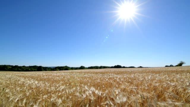 barley field in the wind with sun, - orzo video stock e b–roll