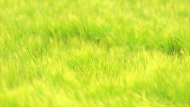 barley field swaying in the wind - swaying stock videos & royalty-free footage