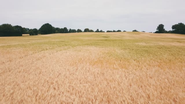 barley field - flour stock videos and b-roll footage