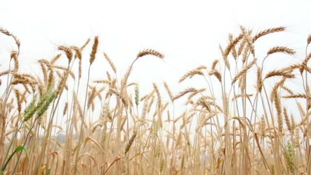 stockvideo's en b-roll-footage met barley field - volkorentarwe