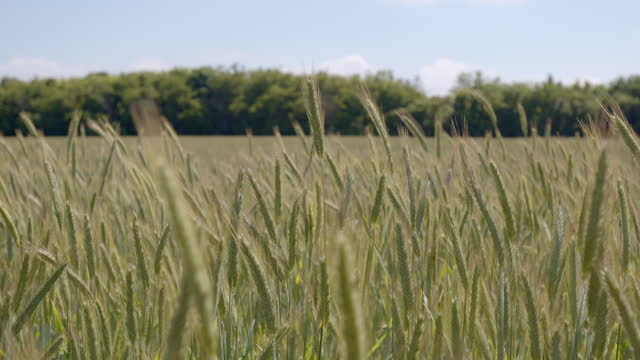 stockvideo's en b-roll-footage met barley field waving the sun - sunny