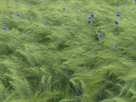 Barley field with cornflowers