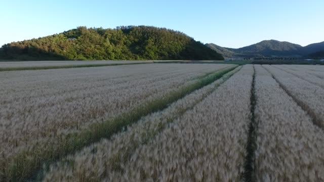 vídeos y material grabado en eventos de stock de barley fields / jindo-gun, jeollanam-do, south korea - balancearse
