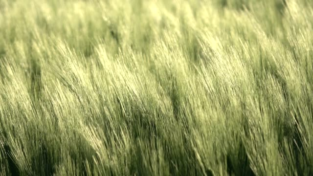 barley spikes move in the wind, agricultural field - ear of wheat stock videos and b-roll footage
