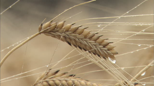 barley sprinkled with morning dew: close shot - korn hordeum bildbanksvideor och videomaterial från bakom kulisserna