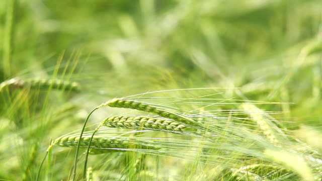 cu macro td barley swaying in the wind in early summer - barley stock videos and b-roll footage