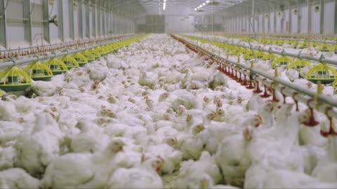 vídeos y material grabado en eventos de stock de ds granero lleno de pollos - ave de corral