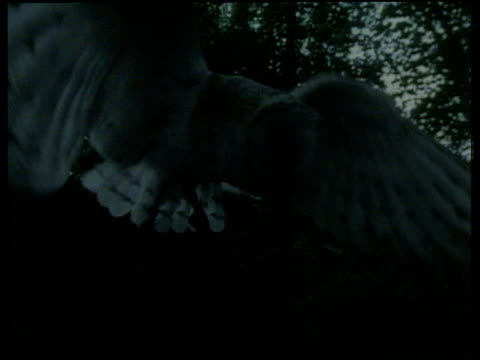 Barn owl flies through wood against night sky and pounces on vole then takes off with prey in beak