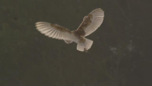 stockvideo's en b-roll-footage met barn owl (tyto alba) hunts over disused airfield, essex, england - uil