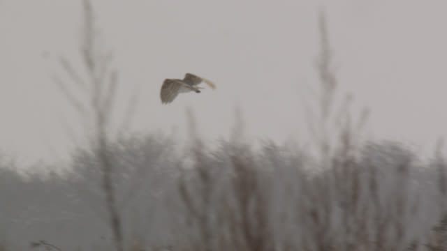 barn owl (tyto alba) hunts over disused airfield, essex, england - barn stock videos and b-roll footage