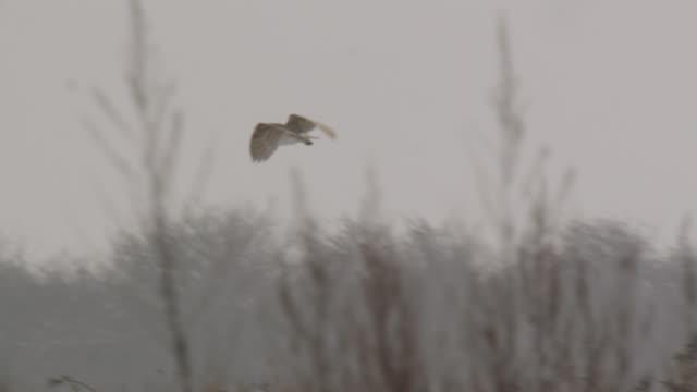 barn owl (tyto alba) hunts over disused airfield, essex, england - barn stock videos & royalty-free footage