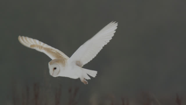 Barn owl (Tyto alba) hunts over disused airfield, Essex, England