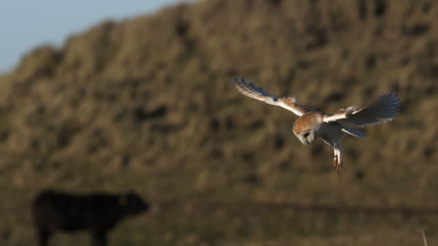 barn owl in flight, super slow-motion - owl stock videos & royalty-free footage