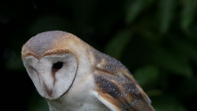cu barn owl looking around / vieux pont, normandy,  france - animal head stock videos & royalty-free footage