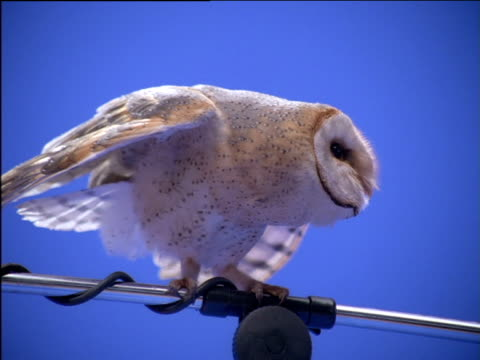 Barn owl perched on microphone stand extends and retracts wings