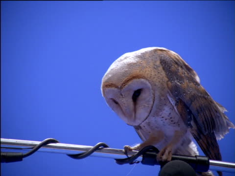 Barn owl perched on microphone stand lowers and shakes head