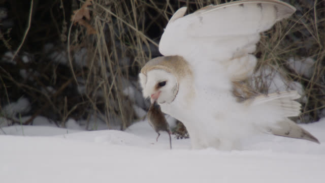 barn owl (tyto alba) takes off from snow with vole prey, essex, england - bird of prey stock videos & royalty-free footage