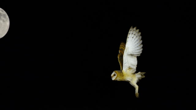 Barn Owl, tyto alba, Adult in flight at Moon, Normandy, Slow Motion 4K