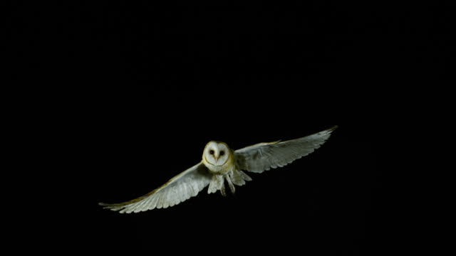 barn owl, tyto alba, adult in flight, normandy, slow motion 4k - owl stock videos & royalty-free footage