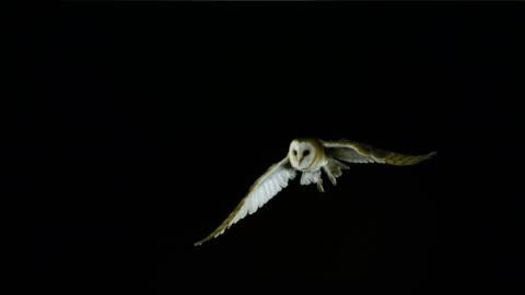 barn owl, tyto alba, adult in flight, normandy, slow motion 4k - utfällda vingar bildbanksvideor och videomaterial från bakom kulisserna