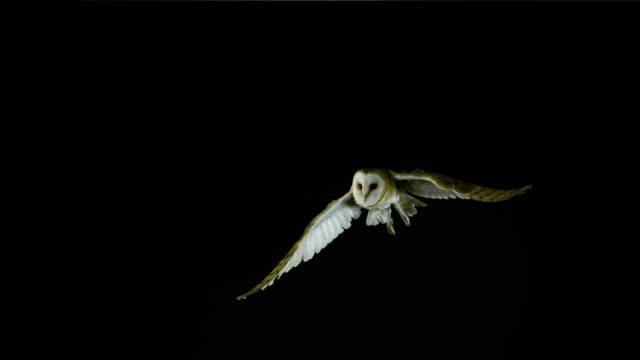 barn owl, tyto alba, adult in flight, normandy, slow motion 4k - bird stock videos & royalty-free footage