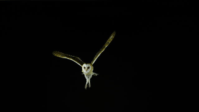 80 Top Barn Owl Video Clips & Footage - Getty Images