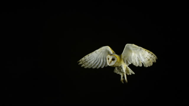 Barn Owl, tyto alba, Adult in Flight, Normandy, Slow Motion