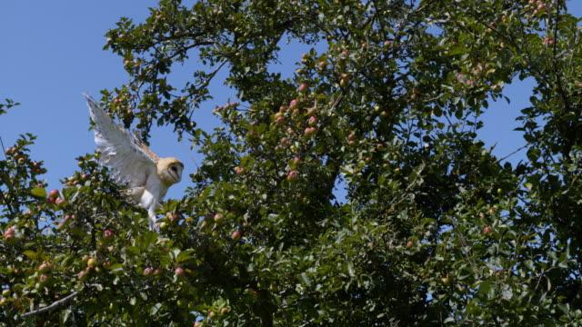 Barn Owl, tyto alba, Adult in flight, Taking off from Apple Tree, Normandy, Slow Motion 4K