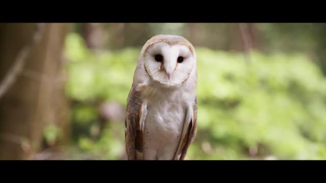 barn owl - blinka aktivitet bildbanksvideor och videomaterial från bakom kulisserna