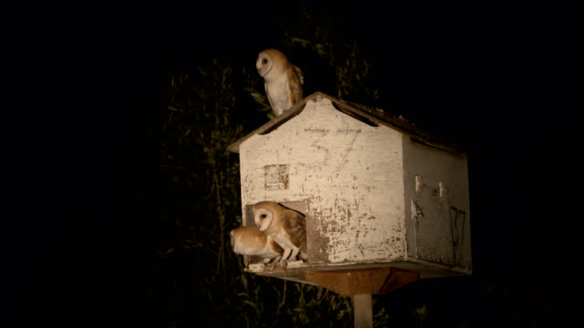 barn owl (tyto alba) - three animals stock videos & royalty-free footage