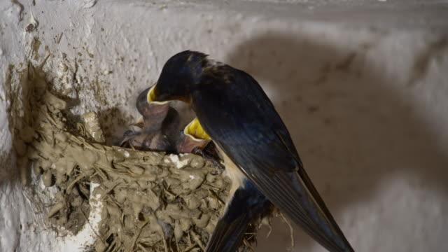 LS Barn swallow bird feeding chicks