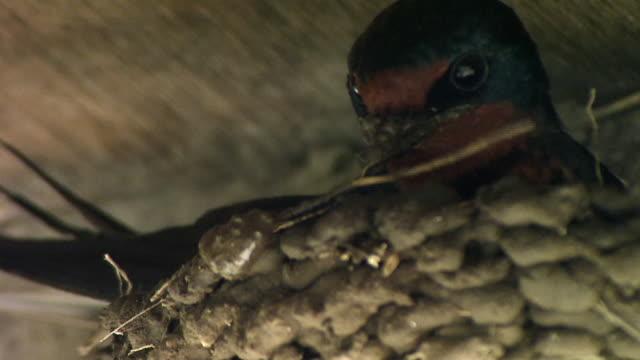 a barn swallow building a nest - 鳥の巣点の映像素材/bロール