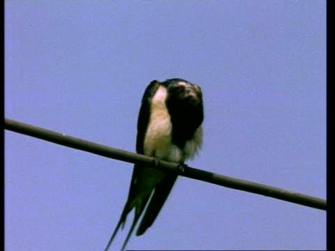 ms barn swallow, hirundo rustica, preening on cable, england, uk - preening stock videos & royalty-free footage