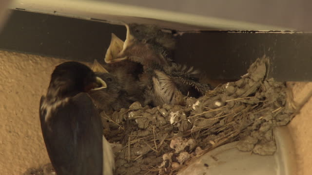 barn swallows with their young - beak stock videos & royalty-free footage