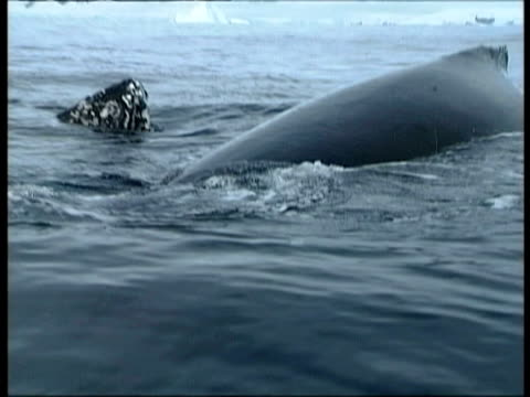 cu barnacle covered head of humpback whale rising out of sea, antarctica - seepocke stock-videos und b-roll-filmmaterial