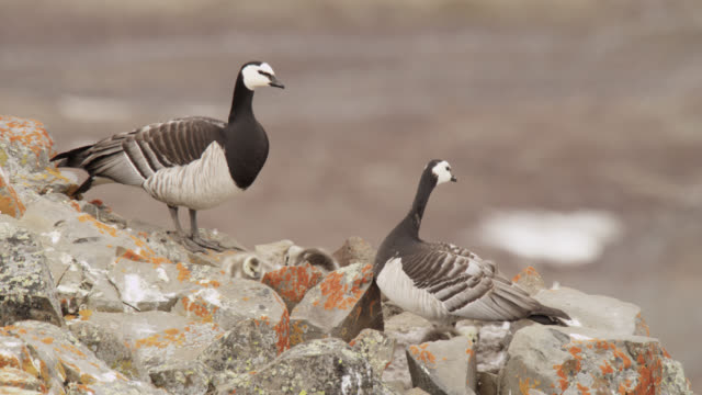 barnacle geese (branta leucopsis) and chicks on cliff top, greenland - seepocke stock-videos und b-roll-filmmaterial