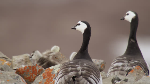 barnacle geese (branta leucopsis) and chicks on cliff top, greenland - barnacle stock videos & royalty-free footage
