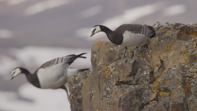 barnacle geese (branta leucopsis) fly from cliff edge, greenland - young bird stock videos & royalty-free footage