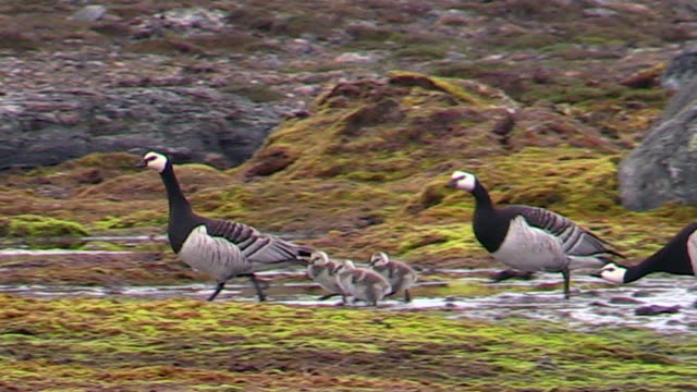 barnacle geese with chicks, svalbard, norway - animal family stock videos and b-roll footage