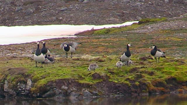 barnacle geese with chicks, svalbard, norway - スヴァールバル諸島点の映像素材/bロール