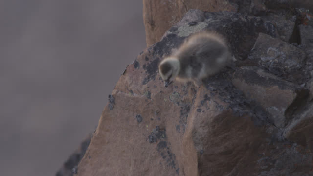 barnacle goose (branta leucopsis) chick jumps from cliff top, greenland - jungvogel stock-videos und b-roll-filmmaterial