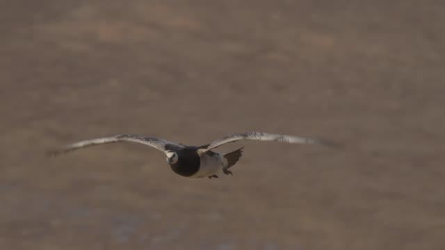 barnacle goose (branta leucopsis) flies over tundra, greenland - greenland stock videos & royalty-free footage