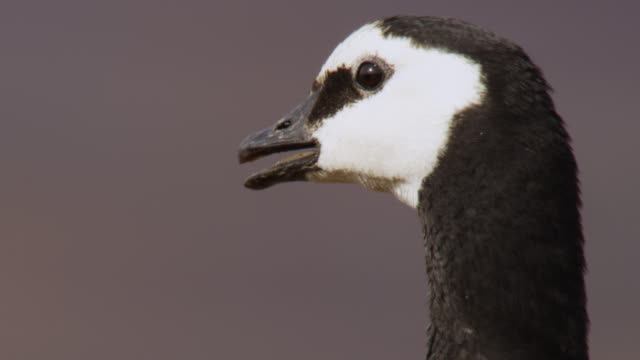 barnacle goose (branta leucopsis) looks around and calls on cliff top, greenland - oca uccello d'acqua dolce video stock e b–roll