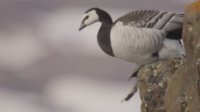 barnacle goose (branta leucopsis) peers from cliff edge, greenland - oca uccello d'acqua dolce video stock e b–roll