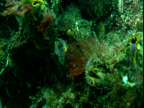 stockvideo's en b-roll-footage met barnacles feed in the ocean current on a coral reef. - rankpootkreeft